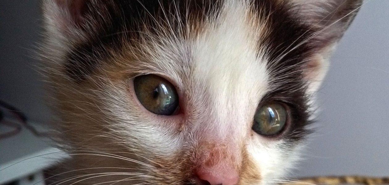 Poznajcie zwierzaki twórców – Kitlerka, najmłodszy kotek Cahirki